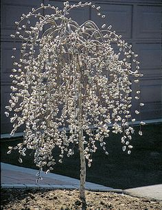 Weeping Pussy Willow ~ A nice weeping form of pussy willow that is trained on a standard to produce a small umbrella-like tree.  Silvery catkins appear in late winter or early spring. Grows 4-6' tall by 6-8' wide.