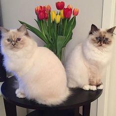 We wish everyone a #happycaturday . Here are the fabulous tortiegirls Fancy and Fiona  @fancy_fiona_cats in tulip season  #birmans #birman #sacredbirman #heligbirma #birmania #birmanie #pyhäbirma #instabirmans #birmansofinstagram #blueeyes #whitecats #fluffycats #instacats #catsofinstagram #cats #kittens #instakittens #kittensofinstagram #lovecats #birmavanner #tabbycats #toocute #beautifulcats #excellentcats #tortiecats #cutepetclub #brunsköldpaddmaskad #blåtabbysköldpaddmaskad