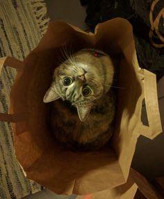 "#Cats  #Cat  #Kittens  #Kitten  #Kitty  #Pets  #Pet  #Meow  #Moe  #CuteCats  #CuteCat #CuteKittens #CuteKitten #MeowMoe      ""I fits!"" ...   https://www.meowmoe.com/41585/"