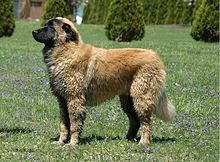Estrela Mountain Dog - A.k.a. Portuguese Shepherd, Cao da Serra da Estrela - Portugal - Guarding herds and homesteads