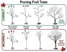 Pruning Fruit Trees - I had a weak crotch   split my pear tree in half last winter. This is definitely what I needed to   see!
