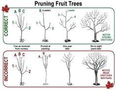 Pruning Fruit Trees - Gardening DIY Life