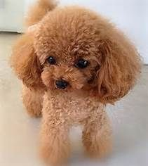 OMG How Freakin Cute! ♥ #Poodles