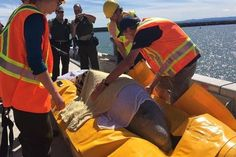Marine group reports Beluga rescued from New Brunswick river last year spotted alive and well