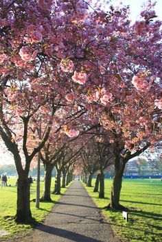 Blossom in the Meadows, Edinburgh