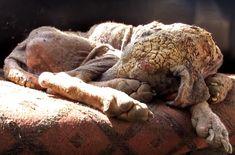 En novembre 2015, l'Animal Aid Unlimited, une association venant en aide aux animaux abandonnés dans les rues d'Inde, a accompli un véritable miracle en sauvant Alice, une chienne errante souffrant d'une forme très grave de gale qui a douloureusement durci sa peau.