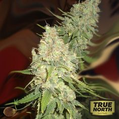 We have created this strain by crossing the best Black Domina available with Very Berry and our own Lost Coast OG Kush, this plant produces large colas with a super intense sweet berry flavor with a sweet smelling aroma that varies from fruit and berries to a sweet candy.