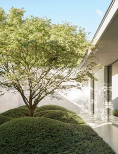 In one of the internal courtyards, a Japanese maple is underplanted with cloud-pruned [i]Lonicera nitida[/i] 'Maigrün'. Garden Design Ideas On A Budget, Small Garden Design, Patio Design, Cloud Pruning, Townhouse Garden, Internal Courtyard, Patio Interior, Backyard Landscaping, Backyard Ideas