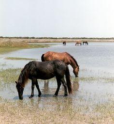 Wild Ponies, Shackleford Banks, NC