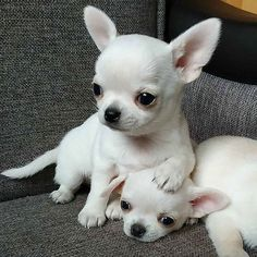 Discovered by Find images and videos on We Heart It - the app to get lost in what you love. Teacup Chihuahua Puppies, Chihuahua Love, Cute Dogs And Puppies, Baby Dogs, Cute Little Animals, Cute Funny Animals, Funny Animal Pictures, Labradoodle, Animals Beautiful