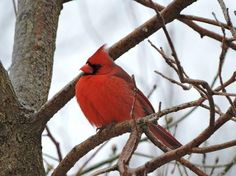 A cardinal adds some color to an icy day in the Poconos