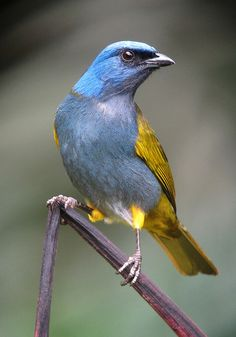 Blue-capped Tanager. Northern South America