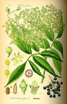 Elderberry's uses in immune support and treating colds.