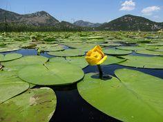 Waterlilies   Lake Skadar, Montenegro