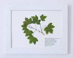 Dried Plant,  Gift for Nature Lovers, Herbarium Specimen, Acer campestre, field maple