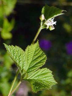 Lillukka, Rubus saxatilis - Kukkakasvit - LuontoPortti