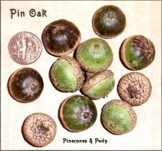 """Pin Oak Acorns.  1/2"""" to 3/4"""" Pin Oak Acorns.  Green acorns fade to a dark brown color.  Some have vertical stripes.  By late fall, all the acorns have  fallen out of their cups."""