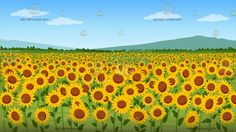 A Field Of Sunflowers Background :  A nice field full of yellow sunflowers with an orange center green leaves and a majestic view of a mountain range from afar