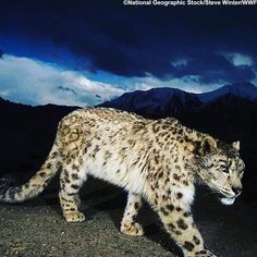 Did you know that snow leopards are most #active at #dawn and #dusk? What will you be doing in the #dark for Earth Hour?  Earth Hour is an annual #global #celebration where people switch off their lights for one hour to show they #care about the future of