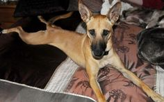 2 year old female Podenco Andaluz dog