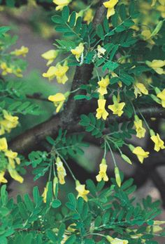 Siberian Weeping Pea Tree.  Very small only 8'W x 8'H.  Yellow flowers in June.