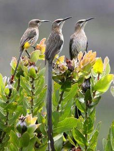 Las Promeropidae o aves azucareras son una pequeña familia de aves paseriformes que están restringidas al sur de África