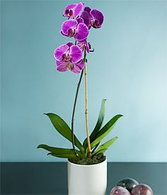 My mom's favorite Orchid. A must-have for my home. They're a bit difficult to care for but so beautiful.