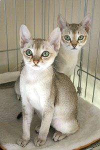 I would love to have a Singapura! - Singapura Cat - ideas of Singapura Cat - I would love to have a Singapura! The post I would love to have a Singapura! appeared first on Cat Gig. Pretty Cats, Beautiful Cats, Animals Beautiful, Cute Animals, I Love Cats, Cool Cats, Kittens Cutest, Cats And Kittens, Singapura Cat