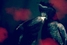 Afternoon Delight 4x6 inch Original Fine Art Photographic Print, Black Cockatoos, Animal photography, Birds, Kissing