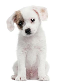 Cross Breed Puppy (2 Months Old) by Life On White
