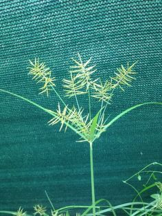 Q: Our community has a problem with nutsedge in the lawns. Our landscape company recommended a product called Basagran. Landscaping Company, Lawns, Lawn Care, Backyard, Patio, Gardening Tips, Wild Flowers, Weed, Herbalism