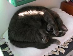 Nighty-night by Ian.  #nightnight #nanascorner #shadowcatsrescue #cats