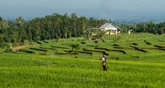 Traditional Means For the full image head to my blog > http://www.brucelevick.com/traditional-means/ A local in the Bengkulu province spreads fertilizer over his rice crops the traditional way.   #Beautifulworld, #Bengkulu, #Crops, #Exploreasia, #Exploreindonesia, #Fertilizer, #Indonesia, #Landscapes, #Mysumatra, #PaddyFields, #Photography, #Photos, #Rice, #RiceFields, #Sumatra, #Travel, #WestSumatra, #Wonderfulindonesia