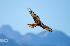 Raptor at Work by Christoph Oberschneider on Bald Eagle, Bird, Instagram, Nature, Animals, Naturaleza, Animales, Animaux, Birds