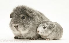 Silver Guinea pig with baby