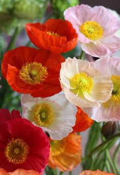Beautiful poppies - such delicate looking petals.