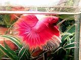 Pink betta ???!?!?? - Arofanatics Fish Talk Forums