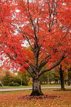 Specimen tree at Schenley Overlook by Melissa @ PPC, via Flickr