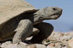 Desert Tortoise Fact Sheet