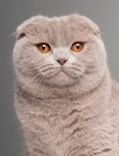 Scottish Folds are intelligent, sweet-tempered, soft-spoken, and easily adaptable to new people and situations.