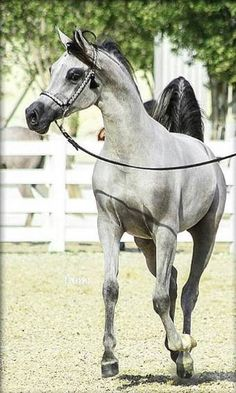 Pandora Al Mohanna (Muhanad Al Bidayer x Al Arayam Alysha) 2014 grey mare