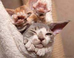 Devon rex Devon Rex, Kitty Cats, Exotic, Babies, Pets, Animals, Kittens, Babys, Animales