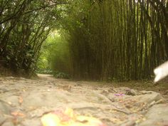 camino de bambu