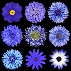 bleuet: La sélection de diverses fleurs bleu isolé sur fond noir. Daisy, Chrystanthemum, bleuet, dahlia, Iberis, Primrose