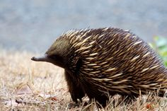 Australian Native Animals Echidnas Echidnas along with Platypus are the only egg laying mammals making them one of the more unique Australian native animals. They are recognisable by their long spikes all over their body. Rare Animals, Unique Animals, Wild Animals, Beautiful Creatures, Animals Beautiful, Australia Animals, Animal Species, Animal Facts, Tattoos