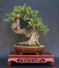 Turkey Oak (Quercus cerris) Height: 57 cm, 22.44 inches Pot: China Yixing Artist: Karl Thier