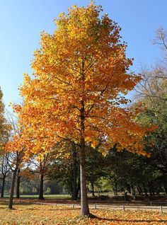 70 x 30-40 ft. disease resistant, attracts hummingbirds, smells lovely. Tulip Poplar on Fast Growing Trees Nursery