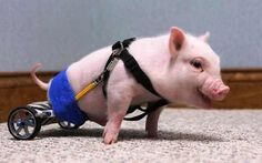 This pig was born without the use of his back legs. He was outfitted with a special wheel chair made of toy parts. Works like a charm, too!