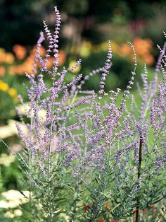 Russian Sage- disliked by deer. Gives off a wonderful, spicey scent every time you touch it. Great for pot pourri and sachets