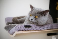 Curved perch ,cat bed, cat shelves, cat furniture, maple,walnut or wenge wood, grey cushion, modern design, best for you cat to lay down